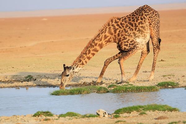 Giraffe Kenya 2017