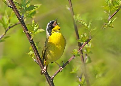 Warblers (Parulidae)