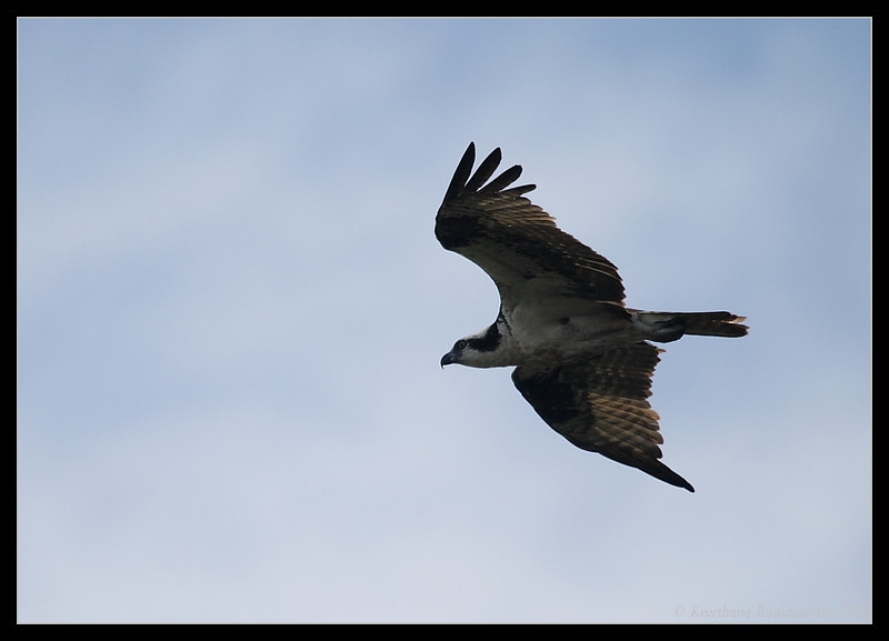 Osprey, Santee Lakes, San Diego County, California, October 2009