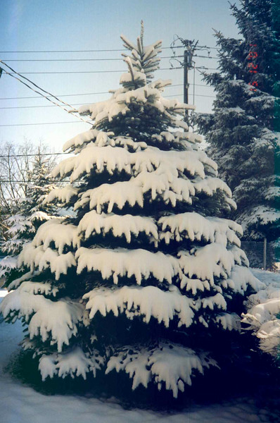 Snow covered Tree.jpg