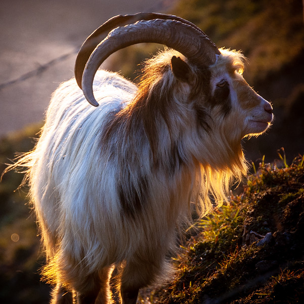 Brean Down goat