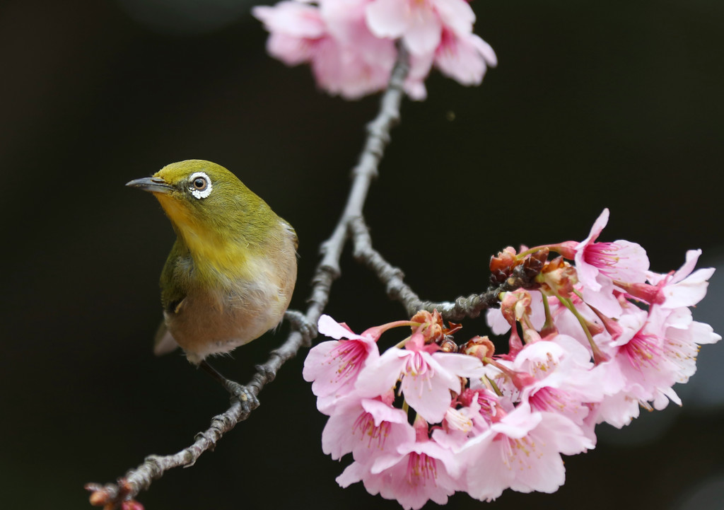 """. In this March 10, 2018 photo, a Japanese white-eye roosts on early blooming cherry blossom, called  \""""Kanzakura\"""" at the Shinjuku Gyoen National Garden in Tokyo. (AP Photo/Koji Sasahara, File)"""