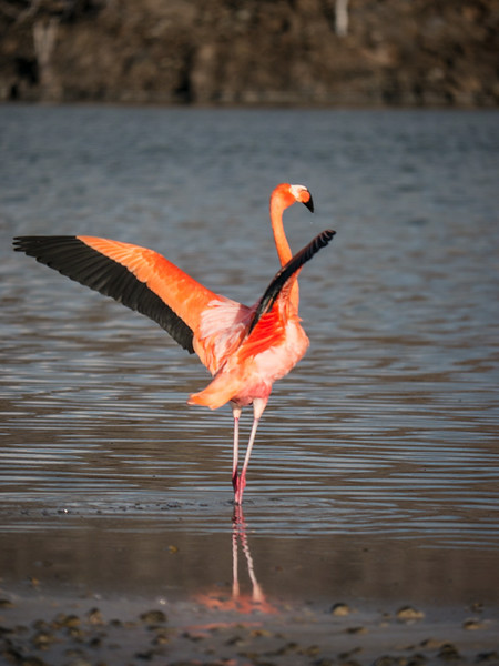 American Flamingo - Floreana Island