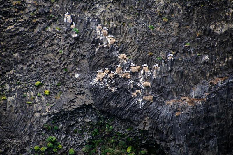 Black-legged Kittiwake on nest - Vik, Iceland