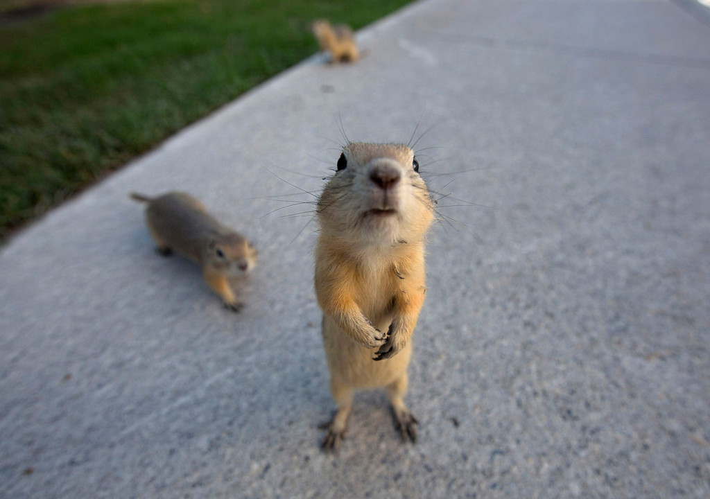 . Gophers on the city sidewalks after their  burrows were flooded in Calgary, Alberta June 22, 2013. REUTERS/Todd Korol