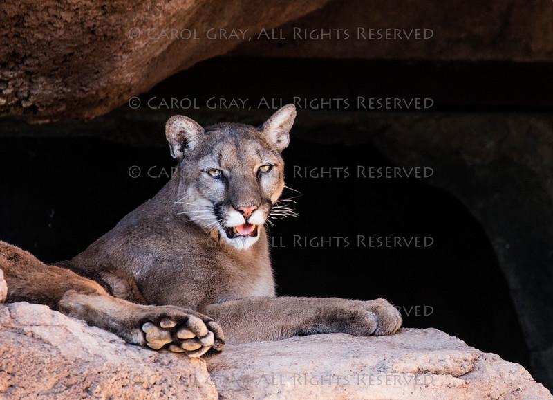 Mountain Lion in the Desert