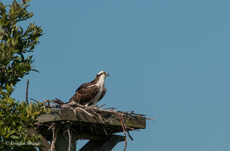 Osprey at Bowditch Point Park