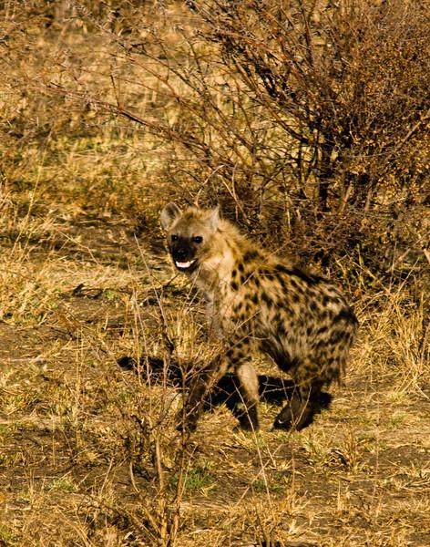 hyena medikwe.jpg
