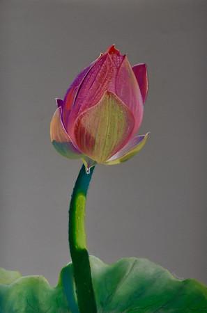"""""""Lotus"""" (pastel) by Janet Jensen"""
