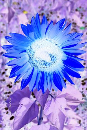 The Sun Flower Garden