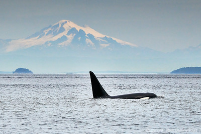Orca sailing by Mt Baker