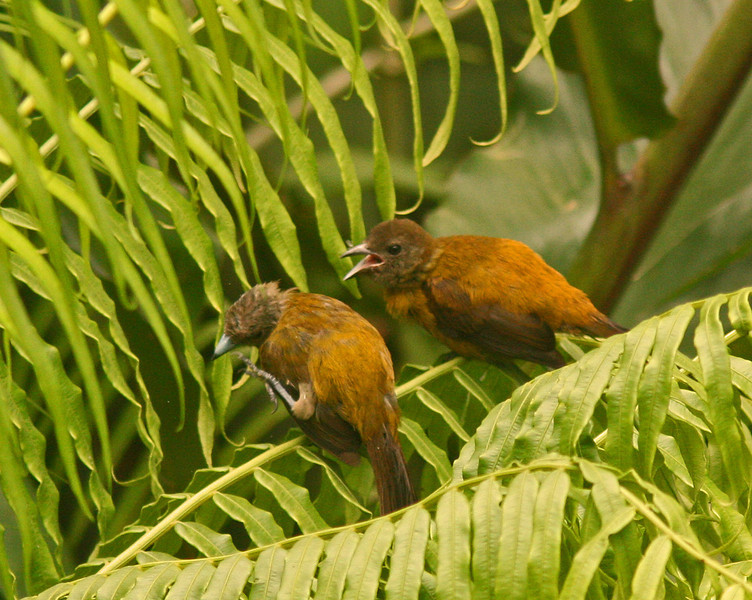 WB~CR Baby Tanagers1280.jpg