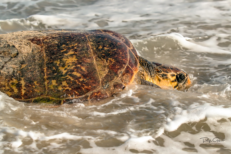 Hawksbill Turtle Headed Out to Sea