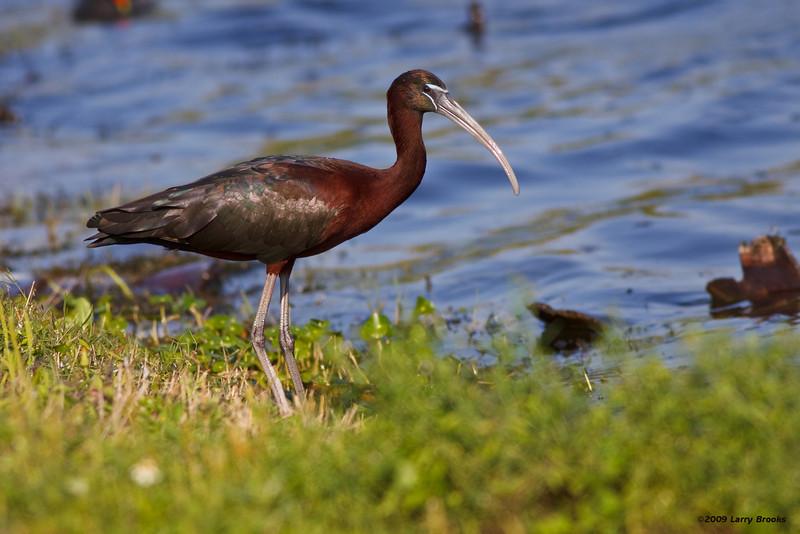 Glossy Ibis at Viera Wetlands