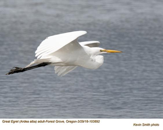 Great Egret A103892.jpg