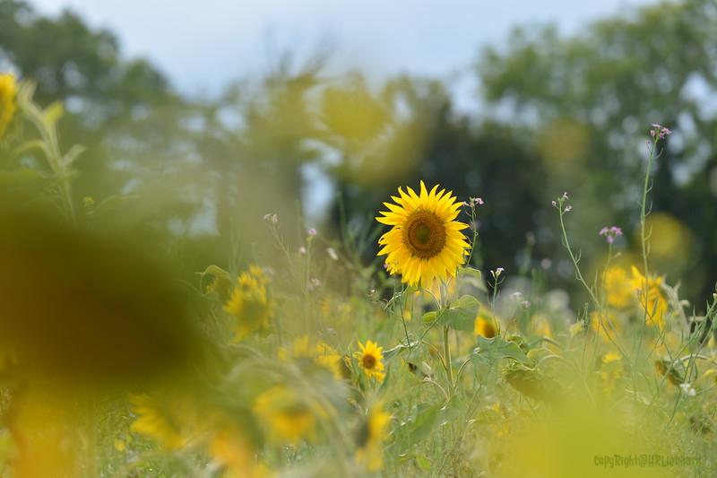 Sunflower Lonay_20092020 (31).JPG
