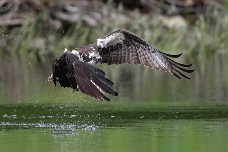 #1624 Osprey Stare