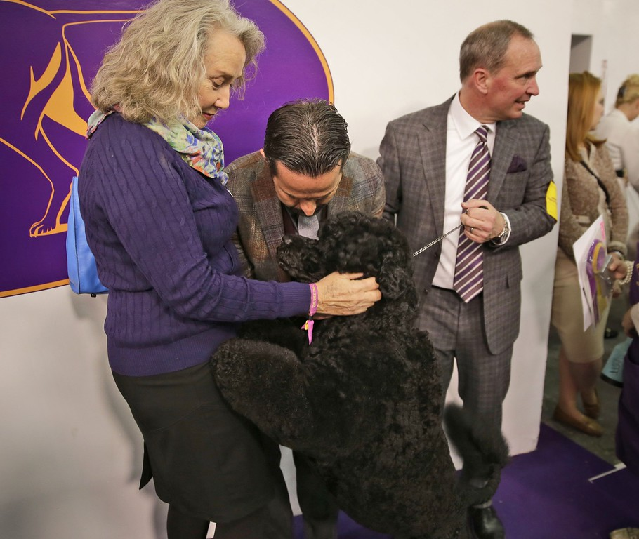 . Matisse, a Portuguese water dog, greets his owners Donna Gottdenker, left, and Milan Lint, center, after winning best in breed at the Westminster Kennel Club show in New York, Tuesday, Feb. 17, 2015.  (AP Photo/Seth Wenig)
