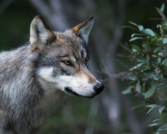 Wolves, Coyotes and Foxes