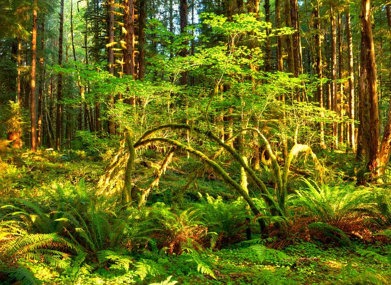8204 Hoh Rain forest