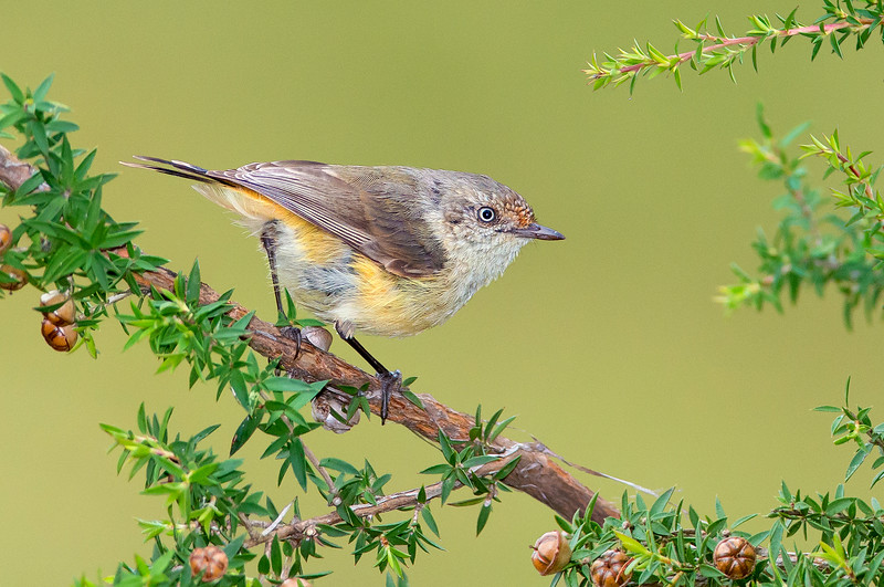 Buff-rumped Thornbill  - Acanthiza reguloides (Bells Beach, Victoria)