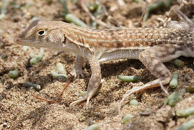 Blanford's Fringe-toed Lizard
