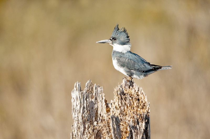 Belted Kingfisher Female Two.jpg