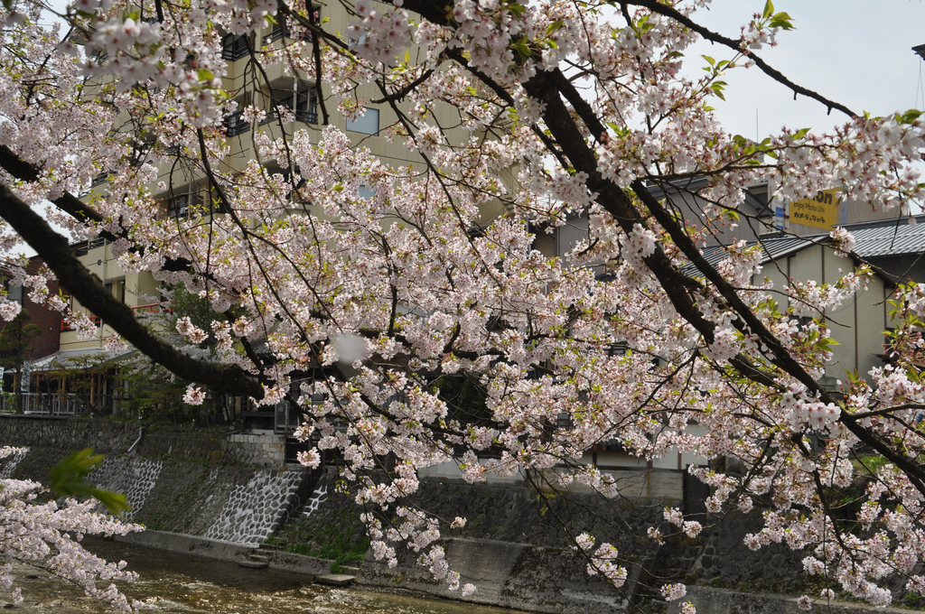 Takayama canal with sakura in full bloom