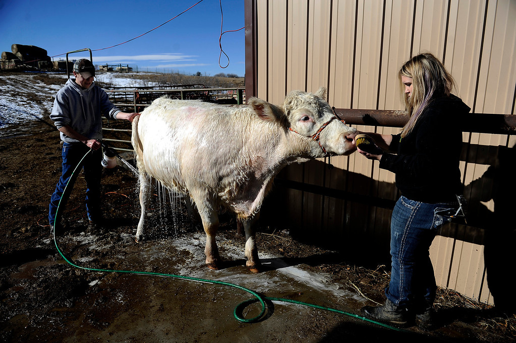 . CASTLE ROCK, CO - JANUARY 17: Lacy, a short horn cow, checks out the brush in Rochelle Quinn\'s hand as Destry Banister, 16, rinses soap out of her hair while prepping the bovine for show at Quinn\'s home in Castle Rock, Colorado on January 17, 2014. Quinn will be showing her animals during the National Western Stock Show this weekend in Denver. (Photo by Seth McConnell/The Denver Post)