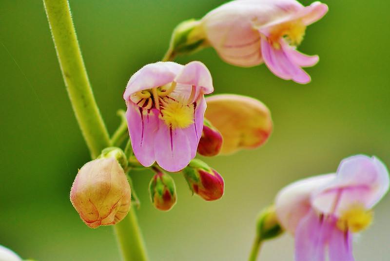 #88 Pink Desert Flowers on Green.JPG