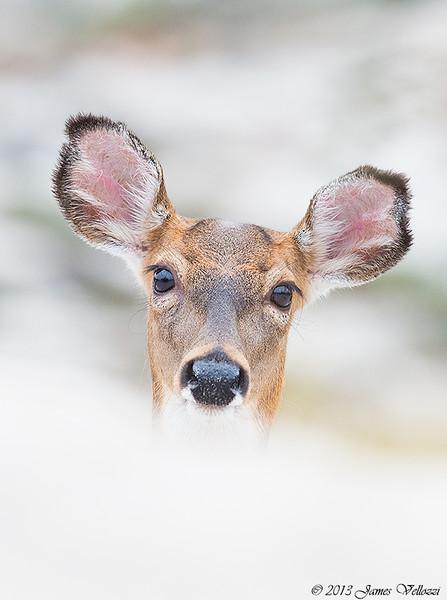 Deer051013A.jpg