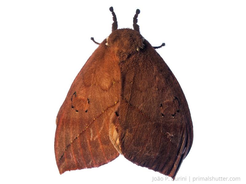 Automeris or Pseudoautomeris moth Tapiraí, São Paulo, Brazil Atlantic forest (rainforest strictu sensu) March 2017