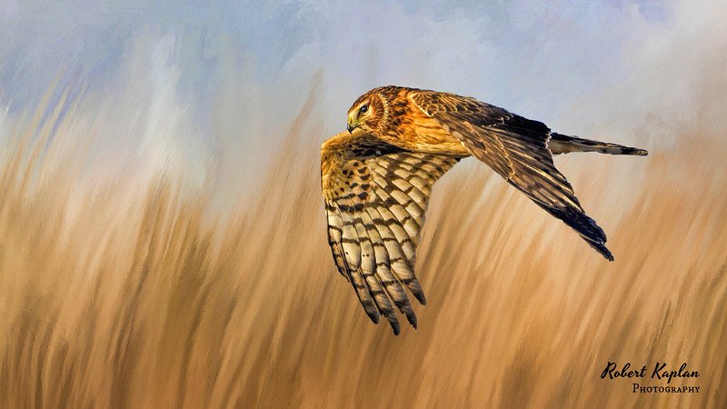 Northern Harrier InthefieldDT-7879.jpg