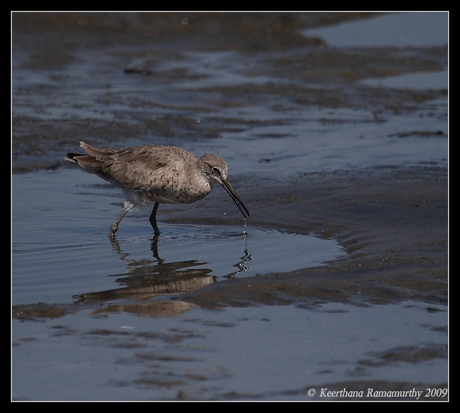 Willet, Coronado Ferry Landing, San Diego County, California, April 2009