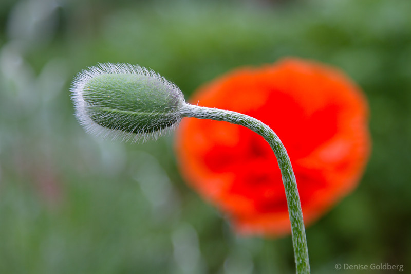 before the poppies pop