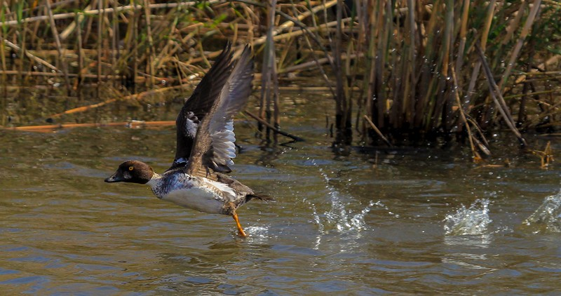 Common Goldeneye takeoff