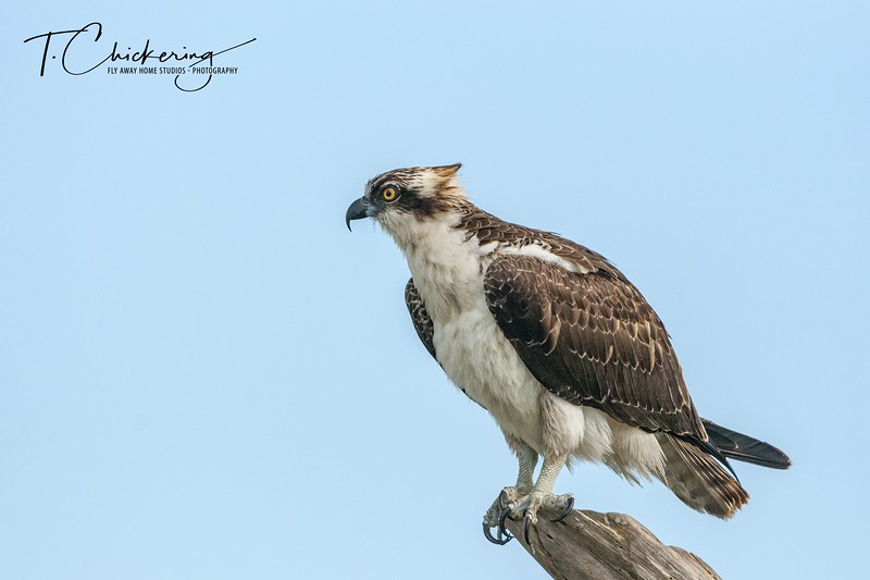 Osprey Male Perched in Snag Two.jpg