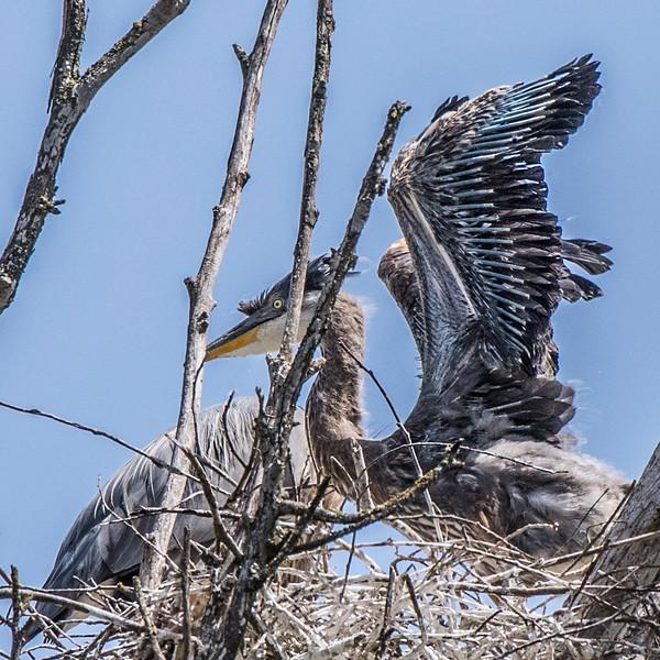 _DSC5981Juvenile Great Blue Heron Flaps.jpg