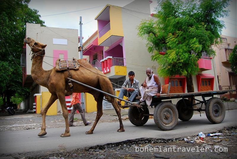 camel in Junagadh.jpg
