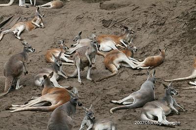 Dieren Kangeroe