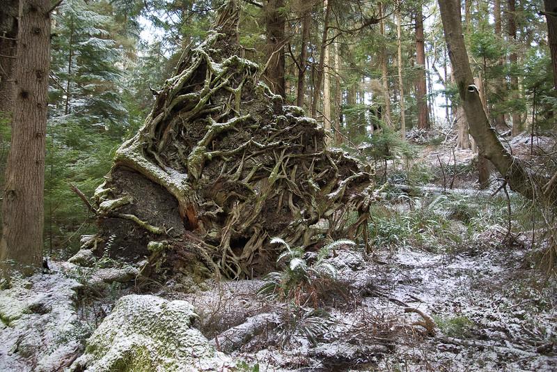 DSC_1093 Fern trail roots snow 1.14.20.jpg
