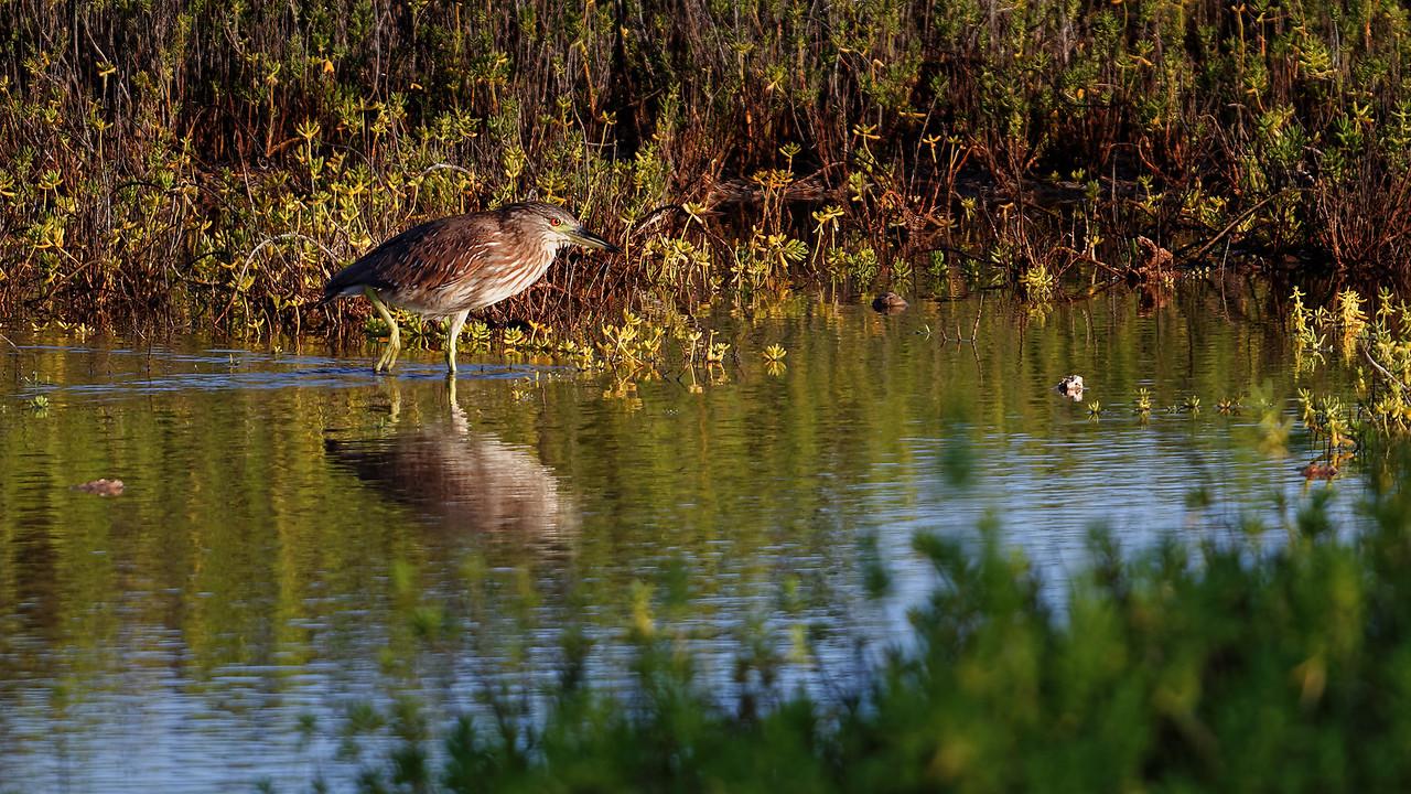 """'Auku'u Dawn""<br /> (Juv. Black-crowned Night Heron - Nycticorax nycticorax)"