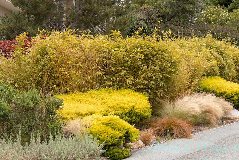 Coleonema pulchellum 'Sunset Gold' - Nasella tenuissima dry garden_1551.jpg