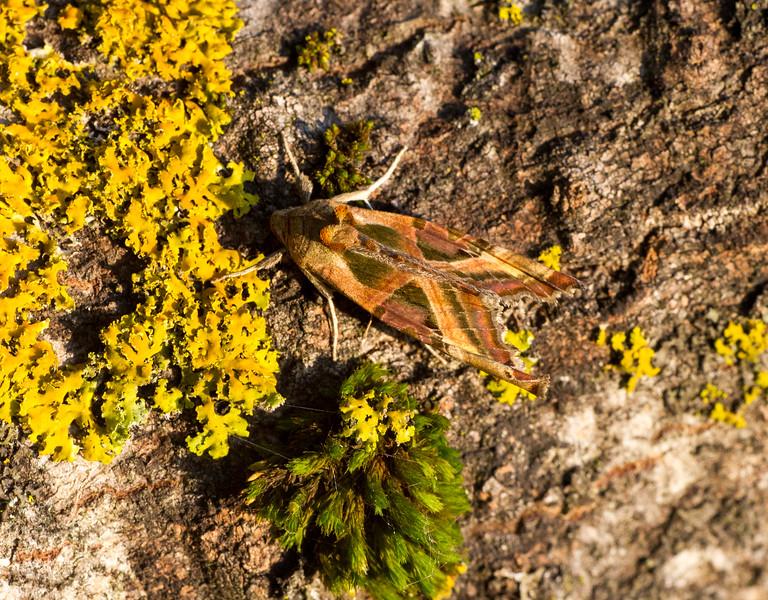 Phlogophora iris Olive Angle Shades 93-2291 9546 Family Noctuidae moth Skogstjarna Carlton County MN IMG_0530.jpg