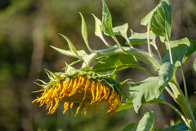 PA-Montco-Koehler Farms Sunflower Field