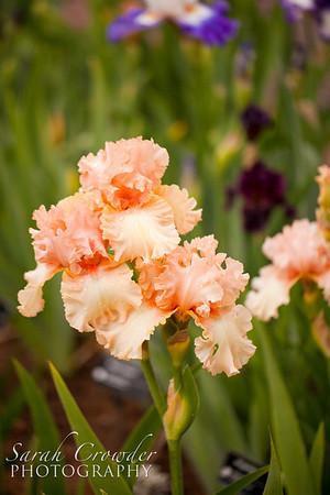 Irises in 2012