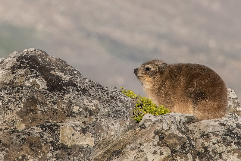Z_1_2006_A_Rock Hyrax_a.k.a Dassie on Table Mountain.jpg