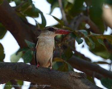 Bruinkapijsvogel; Zambië; Brownhooded kingfisher; Halcyon albiventris; Bruinkopvisvanger; Martinchasseur à tête brune; Bruinkapijsvogel; Zambia