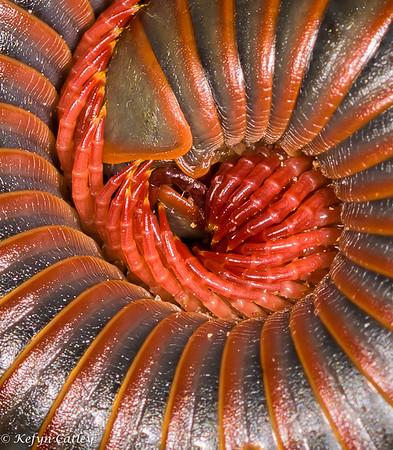 Millipedes (Diplopoda)