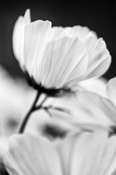 Cosmos flower.jpg